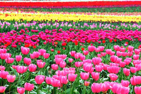 Coloful Tulip Field in Oregon