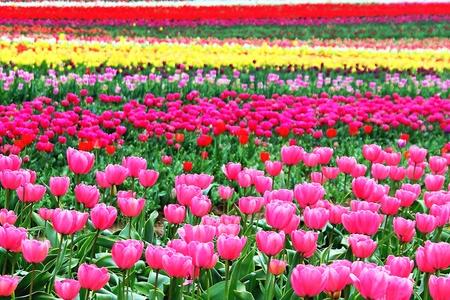 magentas: Coloful Tulip Field in Oregon