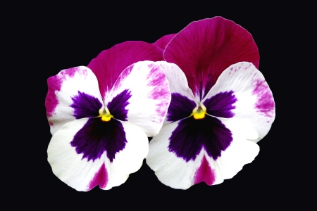 Close up of 2 White and Purple Pansies photo