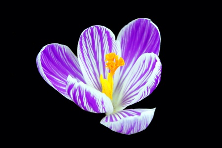 Close up of a Purple Striped Crocus On Black photo