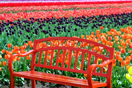 Orange Bench in a Field of Tulips photo