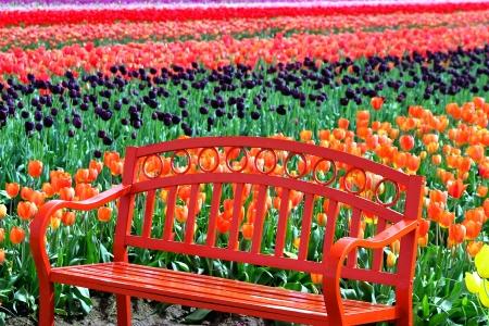 magentas: Orange Bench in a Field of Tulips