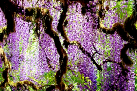 Regarder à travers les arbres Glycines Banque d'images