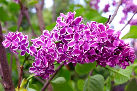ornamental shrub: Purple and White Lilac Branch in Woods Stock Photo