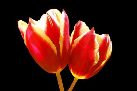 magentas: Yellow and Magenta Tulip Duo