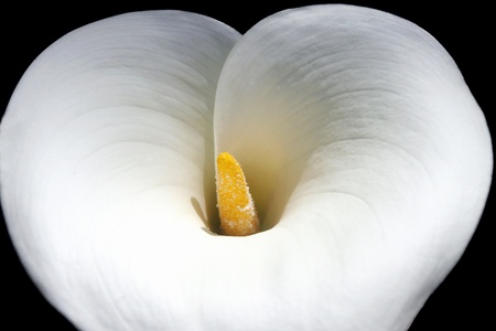Macro White Calla Lily photo