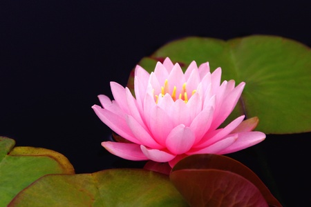 Single Pink Waterlily Afloat photo