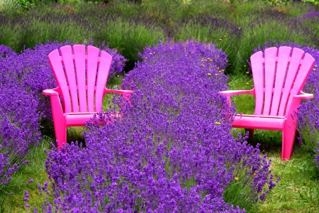 Pink Chairs in a Lavender Field Stock Photo