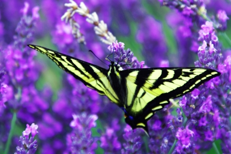 Swallotail papillon Profiter de la lavande