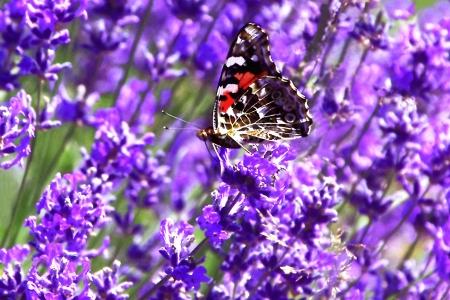 Painted Lady Butterfly on Lavender Foto de archivo