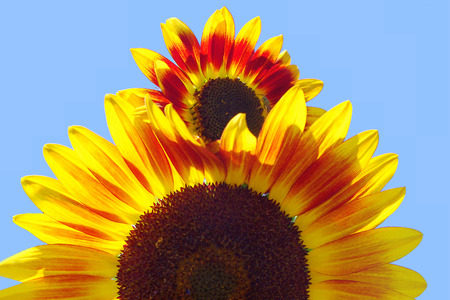 Piggyback Sunflowers