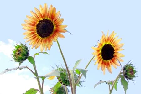 Sunflowers Against a Blue Sky photo