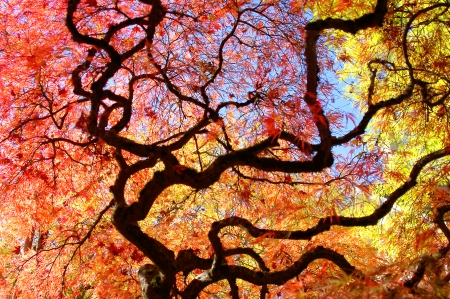 Japanese Maple Tree Surrounded by Blue Skies and Yellow Trees photo