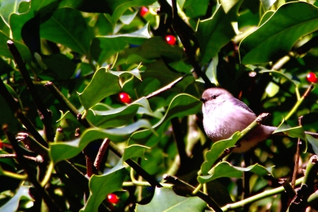frenetic: Kinglet Perched in a Holly Shrub