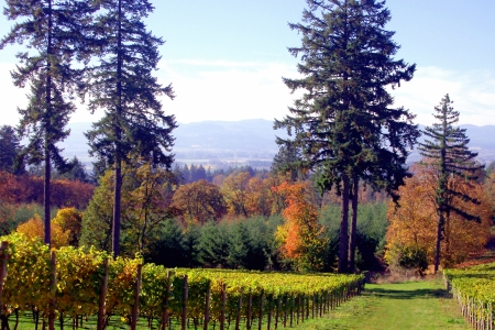 Scenic Willamette Valley Vineyard in Autumn Stock Photo
