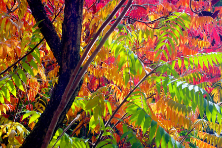 staghorn: Vibrant Autumn Sumac Tree