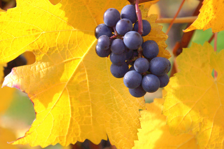 Pinot Noir Grapes Against Yellow Leaves