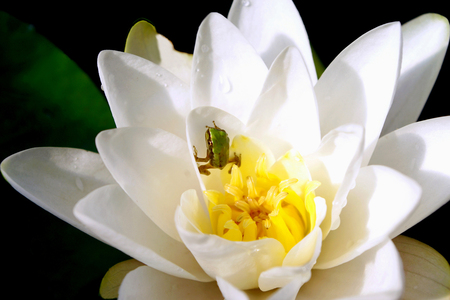 Froglet Climbing out of a White Waterlily photo