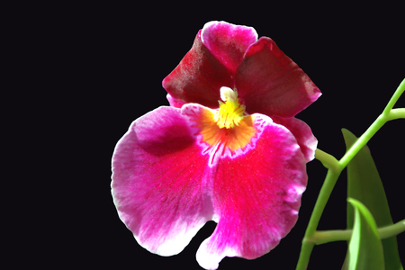 Macro Magenta Orchid on Black photo