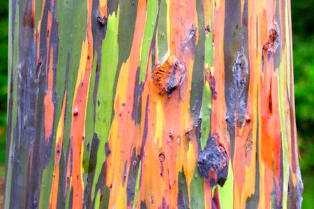 Bunte Regenbogen-Eukalyptus Trunk