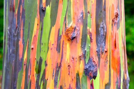Colorful Rainbow Eucalyptus Trunk Stock Photo