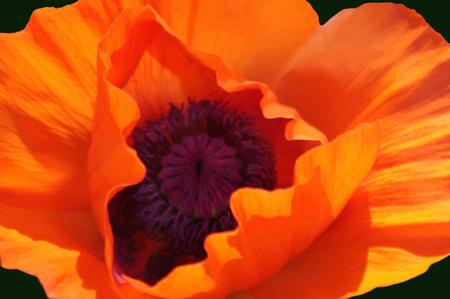 oriental poppy: Closeup of an Orange Oriental Poppy