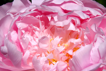 lobed: Inside of a Pink Peony Stock Photo