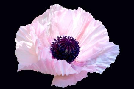 oriental poppy: Pink Oriental Poppy on Black Background
