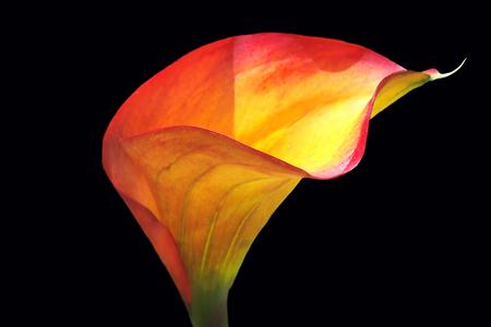 calla lily: Closeup of a Multicolored Calla Lily