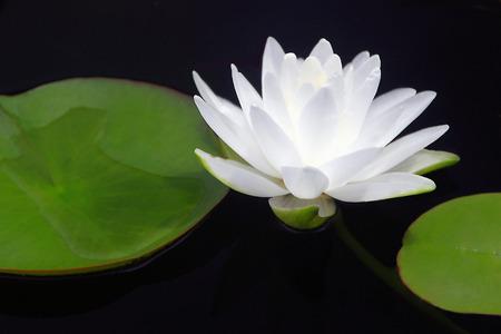 Translucent White Waterlily Stock Photo