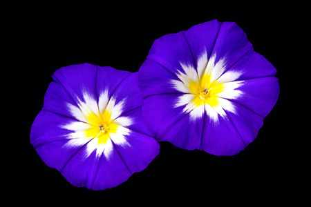 Two Ensign Blue Morning Glories on Black photo