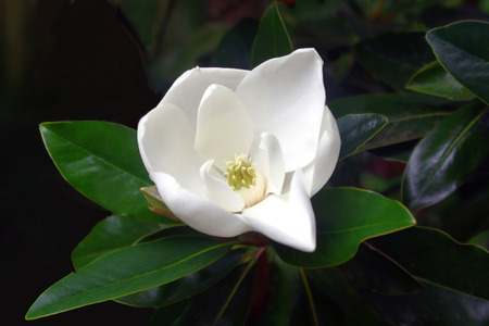 Solo Evergreen Magnolia Flower
