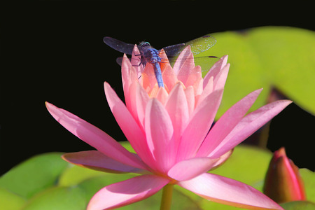 Blue Dragonfly on Pink Waterlily photo