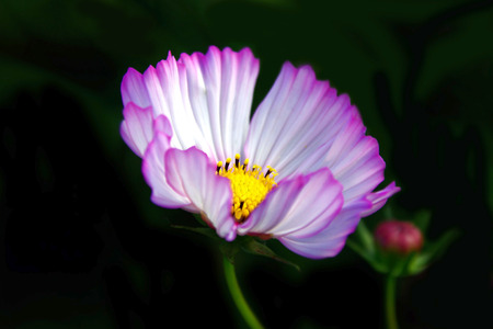 Cosmos and Bud photo