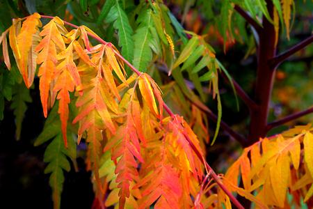 groupings: Brilliant Sumac Tree Stock Photo