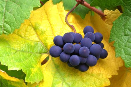 Closeup of Grape Bunch in Fall