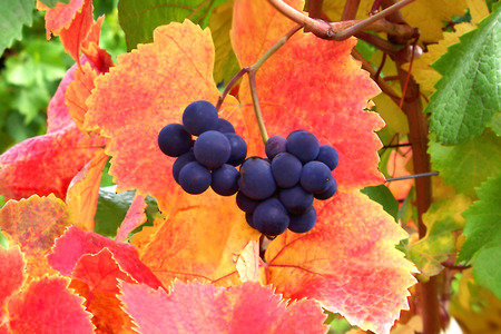 Harvest Ready Grapes