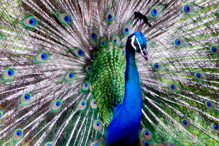 Peacock in Display photo