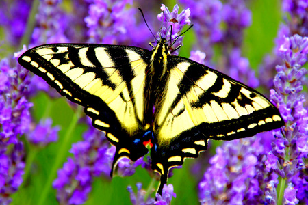 swallowtail: Macro Swallowtail Butterfly on Lavender