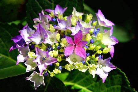 starlike: Closeup of a Lacecap Hydrangea