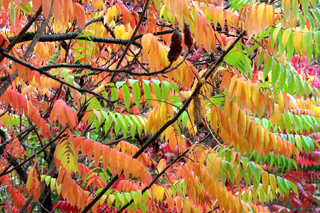 staghorn: Fall Staghorn Sumacs