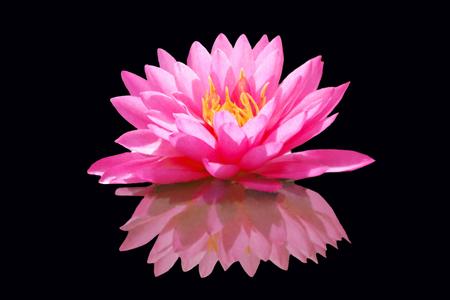 �ber Wasser: Pink Waterlily Afloat on a Black Background Lizenzfreie Bilder