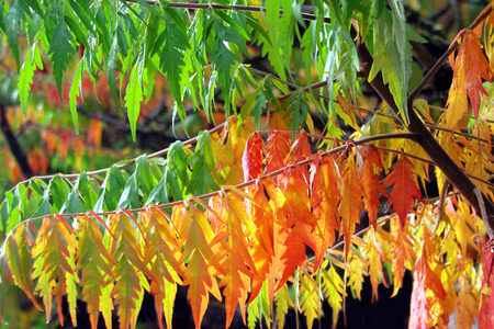 staghorn: Staghorn Sumac Flaming in Autumn Stock Photo