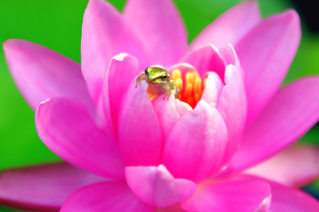 peaking: Pacific Treefrog Peaking Out of a Waterlily Stock Photo