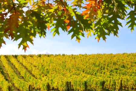 oak leaves: Vineyard Framed by Oak Leaves