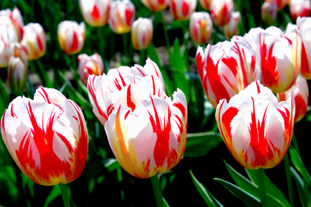 purples: Rows of Striped Tulips