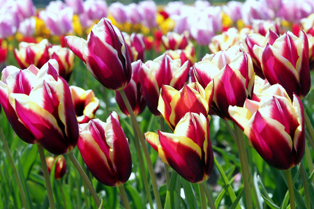purples: Tulips Singing in the Sun Stock Photo