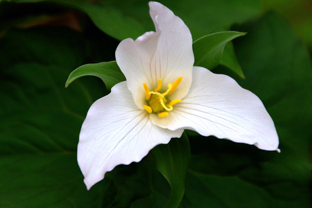 trillium: Spring Trillium Stock Photo