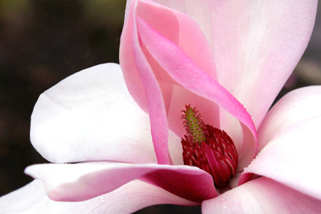 bracts large: Closeup of a Pink Magnolia Blossom