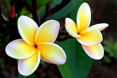 leis: Yellow Plumerias